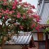 京都・西陣 - 愛染寺の百日紅
