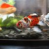 我が家の金魚紹介