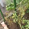 #4 夏野菜 トマトの葉が黄色くなり…