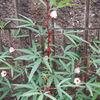 ハイビスカスローゼルが沢山咲いてきました~。