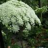 集合花~ニンジンの花