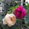 イングリッシュローズの2番花たち