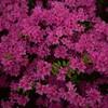 上津江(かみつえ)シャクナゲ園の花々に魅了された 大分県日田市上津江