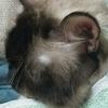 猫の外耳炎―なりやすい種類と家庭での治療&予防法