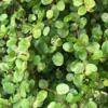 常緑・丈夫なグランドカバー『ワイヤープランツ』の成長記録 ~ 日陰・日向で,斑有・無の品種を育成