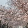 安部山公園桜満開は2日か?