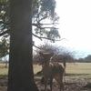 春日のまよい鹿