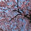 《ふたり暮らし》東京の桜 ホントに満開? お花見Fun Runに行ってみた