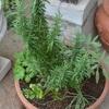 ハーブや野菜や花の苗を植える・今日の仔猫たち