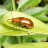 ウリの葉の丸い穴は誰のしわざ?ウリハムシの生態とトレンチ行動を紹介