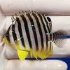 【現物3】シマヤッコ 5.5cm±! 海水魚 生体 15時までのご注文で当日発送【ヤッコ】