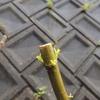 2012/04/30 一雨毎にもえいずるキョウチクトウの芽