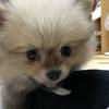 ポメラニアンのぽんちゃん 耳をよく掻く 初めての動物病院へ