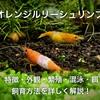 オレンジルリーシュリンプ繁殖・混泳・飼育方法!初心者におすすめ!