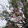 真清田の神さまのふところで、今年初めての桜を愛でること。
