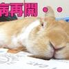 【ミニウサギ】うさぎの闘病・・食欲不振からの強制給餌まさかの再開・・。