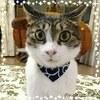 お客様の姿をご紹介(ΦωΦ): 細唐草柄ネイビー・ネコ用バンダナ風首輪(角カンあり)/子猫から成猫