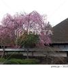 桜と古民家 由利本荘市 天鷺村