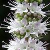 ミントの花とコハナグモ
