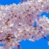あと何回桜を見ることができるのだろう