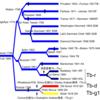 バイアリーターク系のY染色体系統樹