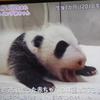 《祝》アドベンチャーワールドでパンダの赤ちゃんが生まれました‼【パンダ写真】