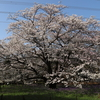 小金井公園 2020年の桜