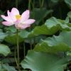 ハスの群生地のハスの花