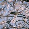 大寒桜と鵯