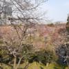 ちょっと早めのお花見。  ~大阪城公園で咲いている桜を見つけたよ☆~