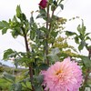 「佐久の季節便り」、「皇帝ダリア」が、賢治ガーデンにも咲いて…。