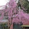 庭と裏山の桜