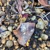 冬に株分けしたアマドコロが芽を出し始めそう