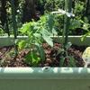 家庭菜園🍅🍆