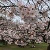 【お花見】意外に空いてる代々木公園!(2020/3/22)