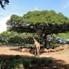 3歳子連れ家族旅行 in Hawaii 〜ホノルル動物園と近隣のおすすめオーガニックカフェ~