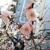 湯島天神梅祭り