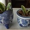 観葉植物 ペペロミア