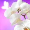 日本人が置かれた場所では咲くのは遺伝子レベルで不可能です