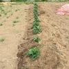 ジャガイモの土寄せ