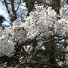 蓮華寺池公園、今年の桜は?