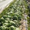 苓北町特産「冬レタス」の収穫(熊本県)