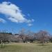 仙台市内、桜(2021年4月第二週)