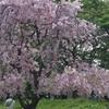 桜の通り抜け🌸。