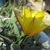チューリップが咲き始めました !!