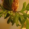 マウントキッチャクードの胞子葉が生え揃ってきた