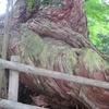 大ヒノキの幹