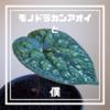 モノドラカンアオイと僕【美しすぎるジャパニーズビザールプランツ-JapaneseBizarrePlants-】