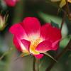 一重の薔薇