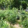 ブルーベリーの摘み取り 初物売り ブラシの木